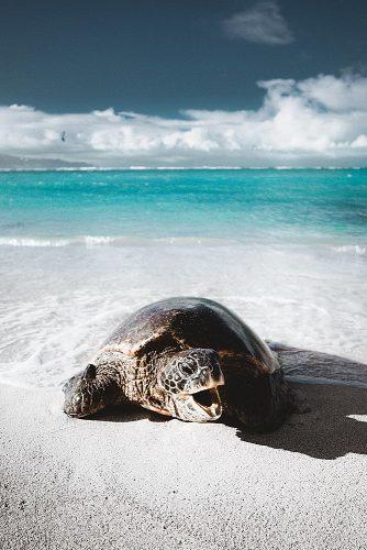 best honeymoon spots turtle at the beach maui hawaii