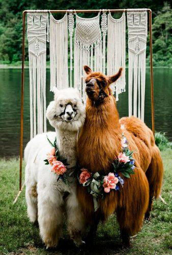 wedding pets cute lama couple dianagula