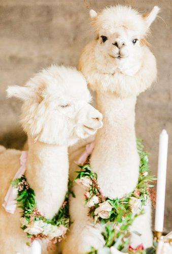 wedding pets cute white lama viktoriyabogdanovaphotography
